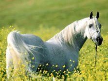 white_horse-1268