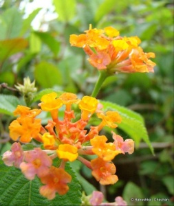 orangesageflowerEthiopia